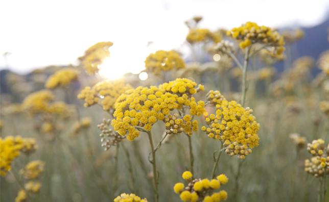Hidrolat smilja - upotreba za zdravlje i negu
